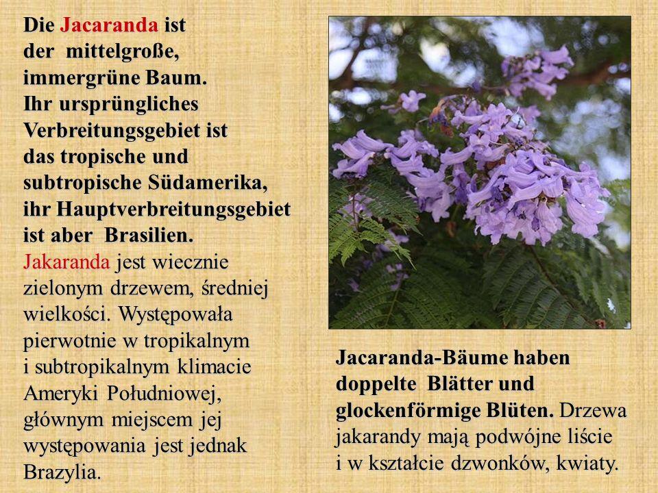 Die Jacaranda ist der mittelgroße, immergrüne Baum. Ihr ursprüngliches Verbreitungsgebiet ist das tropische und subtropische Südamerika, ihr Hauptverb