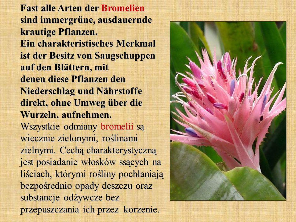 Fast alle Arten der Bromelien sind immergrüne, ausdauernde krautige Pflanzen. Ein charakteristisches Merkmal ist der Besitz von Saugschuppen auf den B