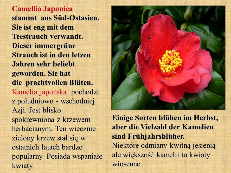 Camellia Japonica stammt aus Süd-Ostasien. Sie ist eng mit dem Teestrauch verwandt. Dieser immergrüne Strauch ist in den letzen Jahren sehr beliebt ge