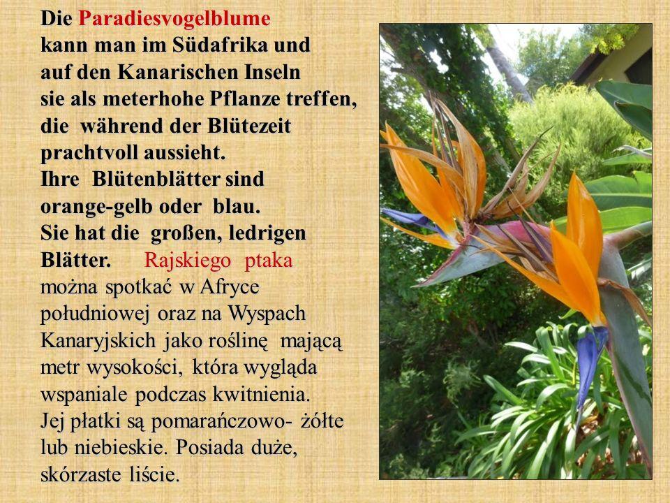 Die Paradiesvogelblume kann man im Südafrika und auf den Kanarischen Inseln sie als meterhohe Pflanze treffen, die während der Blütezeit prachtvoll au