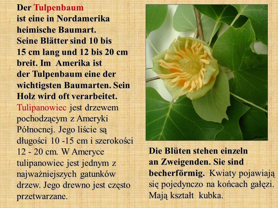 Der Tulpenbaum ist eine in Nordamerika heimische Baumart. Seine Blätter sind 10 bis 15 cm lang und 12 bis 20 cm breit. Im Amerika ist der Tulpenbaum e