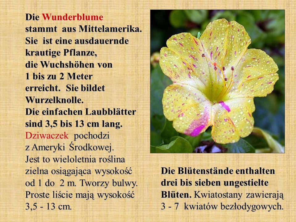 Die Wunderblume stammt aus Mittelamerika. Sie ist eine ausdauernde krautige Pflanze, die Wuchshöhen von 1 bis zu 2 Meter erreicht. Sie bildet Wurzelkn