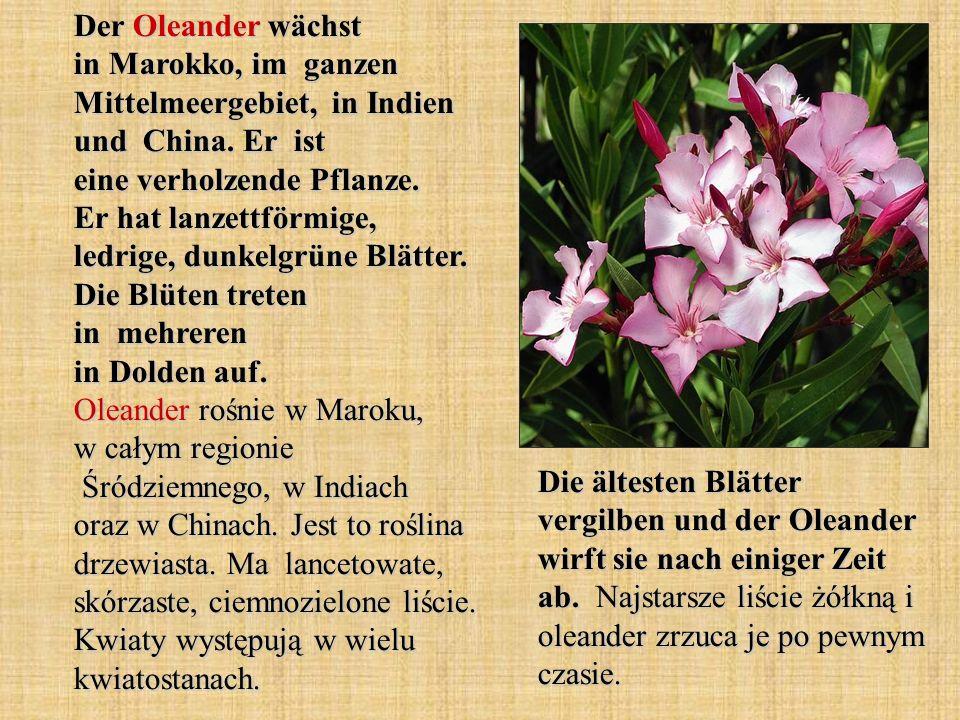 Der Oleander wächst in Marokko, im ganzen Mittelmeergebiet, in Indien und China. Er ist eine verholzende Pflanze. Er hat lanzettförmige, ledrige, dunk