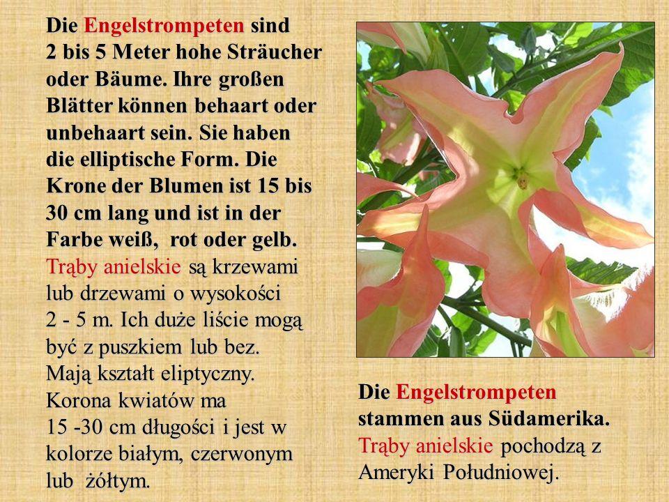 Die Engelstrompeten sind 2 bis 5 Meter hohe Sträucher oder Bäume. Ihre großen Blätter können behaart oder unbehaart sein. Sie haben die elliptische Fo