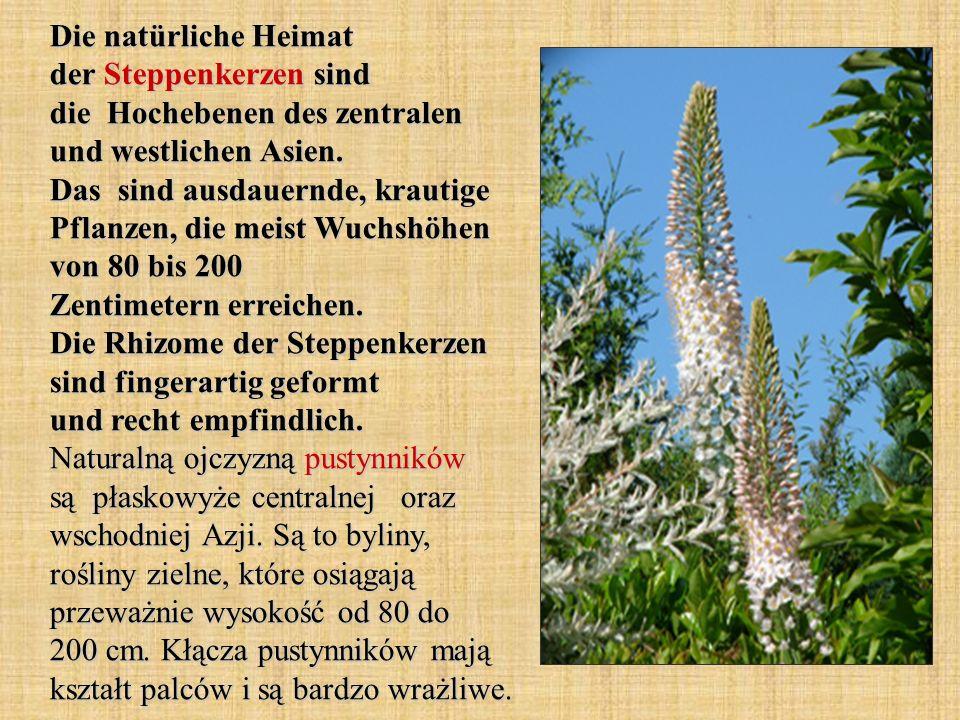 Die natürliche Heimat der Steppenkerzen sind die Hochebenen des zentralen und westlichen Asien. Das sind ausdauernde, krautige Pflanzen, die meist Wuc