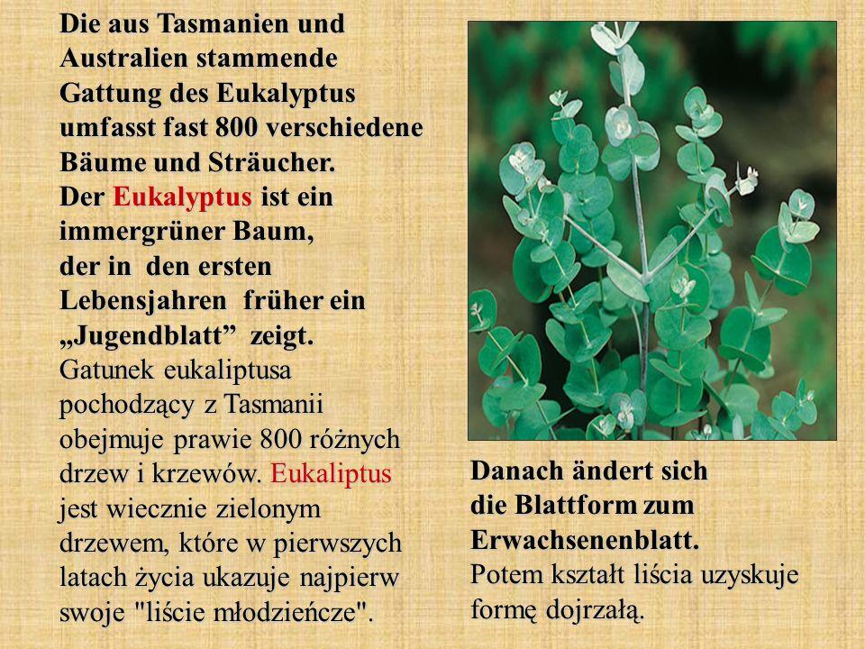 Die aus Tasmanien und Australien stammende Gattung des Eukalyptus umfasst fast 800 verschiedene Bäume und Sträucher. Der Eukalyptus ist ein immergrüne