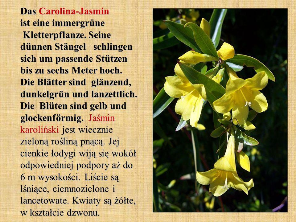 Das Carolina-Jasmin ist eine immergrüne Kletterpflanze. Seine dünnen Stängel schlingen sich um passende Stützen bis zu sechs Meter hoch. Die Blätter s
