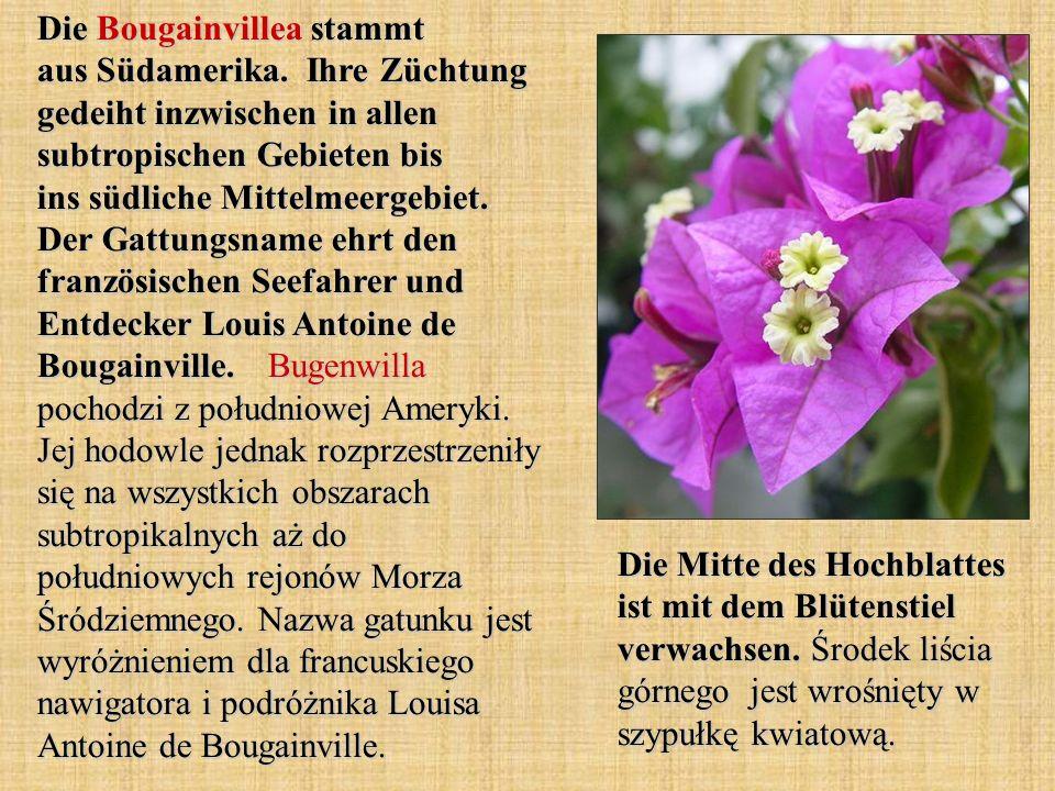 Die Bougainvillea stammt aus Südamerika. Ihre Züchtung gedeiht inzwischen in allen subtropischen Gebieten bis ins südliche Mittelmeergebiet. Der Gattu