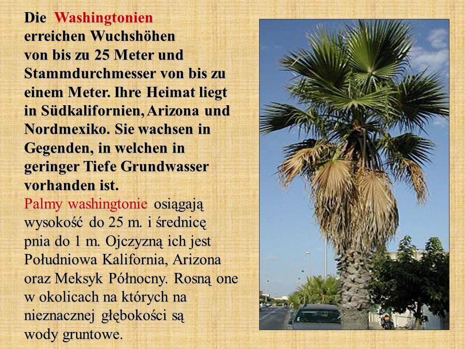 Die Washingtonien erreichen Wuchshöhen von bis zu 25 Meter und Stammdurchmesser von bis zu einem Meter. Ihre Heimat liegt in Südkalifornien, Arizona u