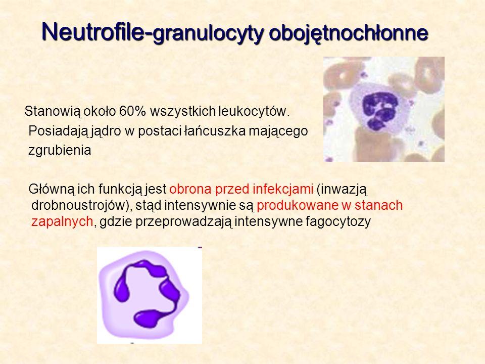 Neutrofile- granulocyty obojętnochłonne Stanowią około 60% wszystkich leukocytów. Posiadają jądro w postaci łańcuszka mającego zgrubienia Główną ich f