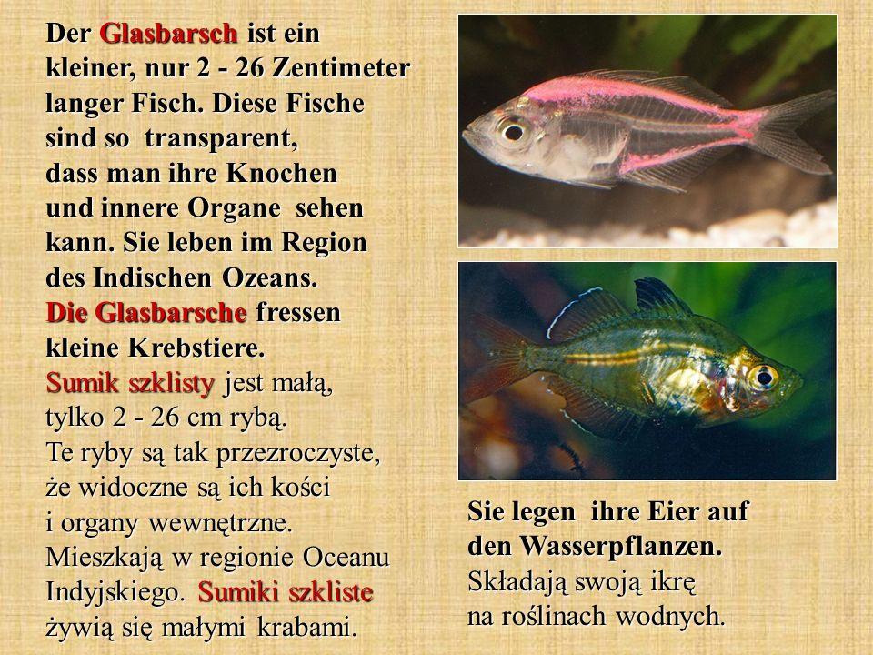 Der Glasbarsch ist ein kleiner, nur 2 - 26 Zentimeter langer Fisch. Diese Fische sind so transparent, dass man ihre Knochen und innere Organe sehen ka