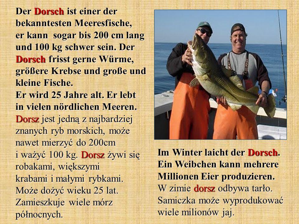 Der Dorsch ist einer der bekanntesten Meeresfische, er kann sogar bis 200 cm lang und 100 kg schwer sein. Der Dorsch frisst gerne Würme, größere Krebs