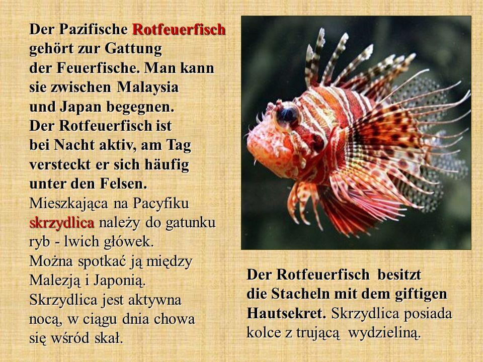 Der Pazifische Rotfeuerfisch gehört zur Gattung der Feuerfische. Man kann sie zwischen Malaysia und Japan begegnen. Der Rotfeuerfisch ist bei Nacht ak
