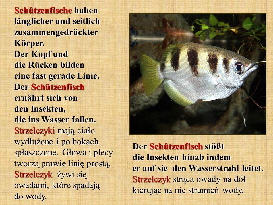Der Schützenfisch stößt die Insekten hinab indem er auf sie den Wasserstrahl leitet. Strzelczyk strąca owady na dół kierując na nie strumień wody. Sch