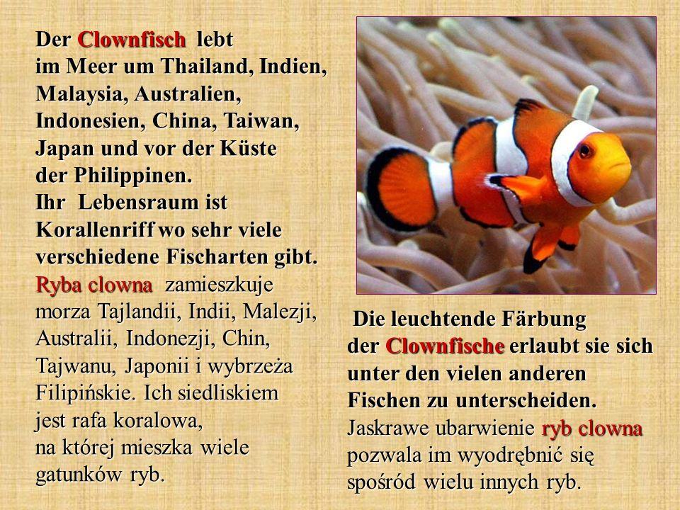 Der Clownfisch lebt im Meer um Thailand, Indien, Malaysia, Australien, Indonesien, China, Taiwan, Japan und vor der Küste der Philippinen. Ihr Lebensr