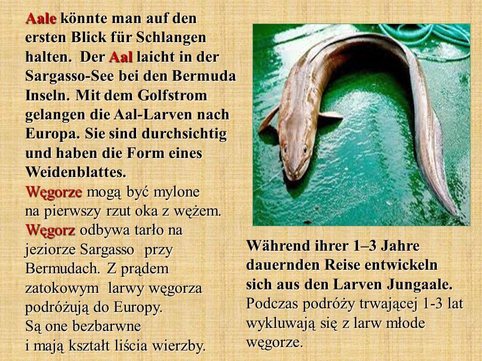 Aale könnte man auf den ersten Blick für Schlangen halten. Der Aal laicht in der Sargasso-See bei den Bermuda Inseln. Mit dem Golfstrom gelangen die A