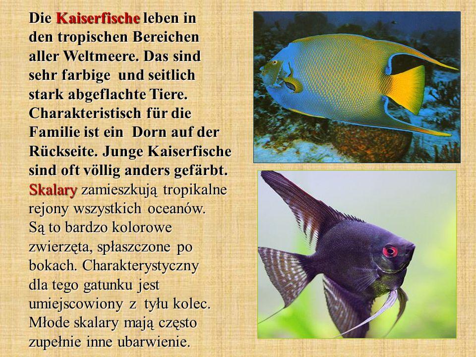 Die Kaiserfische leben in den tropischen Bereichen aller Weltmeere. Das sind sehr farbige und seitlich stark abgeflachte Tiere. Charakteristisch für d