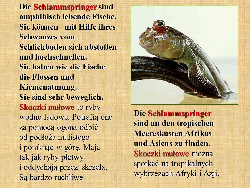 Die Schlammspringer sind amphibisch lebende Fische. Sie können mit Hilfe ihres Schwanzes vom Schlickboden sich abstoßen und hochschnellen. Sie haben w