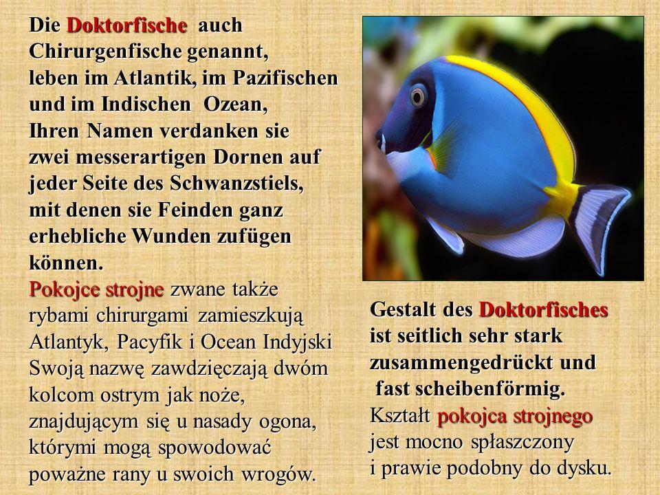 zwei messerartige Dornen - dwa kolce w kształcie noża der Schwanzstiel - nasada ogona erhebliche Wunden zufügen - zadać pokaźne rany der Doktorfisch - pokojec strojny stark zusammengedrückt - mocno spłaszczony scheibenförmig - podobny do dysku der Schlammspringer - skoczek mułowy amphibisch lebende Fische - ryby wodno - lądowe mit Hilfe des Schwanzes - za pomocą ogona der Schlickboden - podłoże muliste die Flossen - płetwy Wörter und Wendungen.
