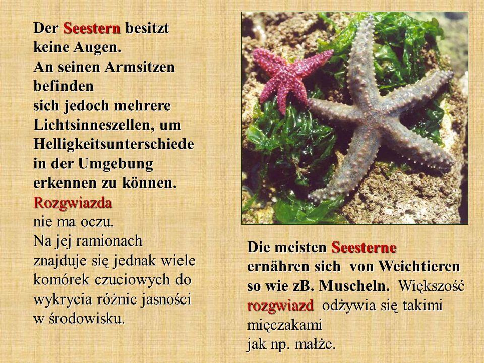 Die meisten Seesterne ernähren sich von Weichtieren so wie zB. Muscheln. Większość rozgwiazd odżywia się takimi mięczakami jak np. małże. Der Seestern