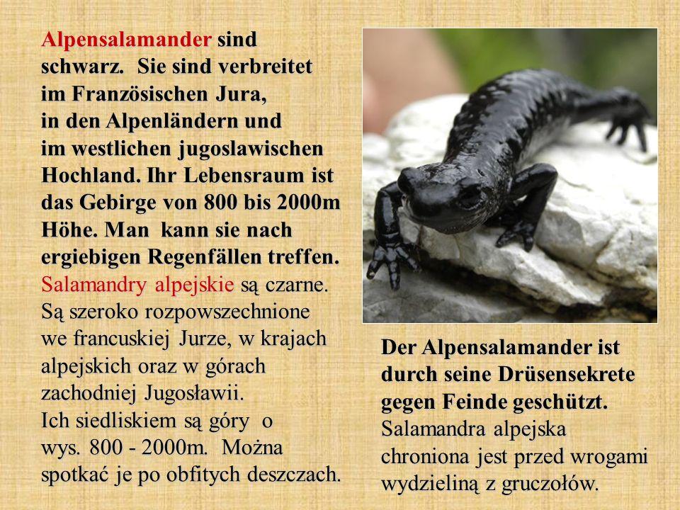 Alpensalamander sind schwarz. Sie sind verbreitet im Französischen Jura, in den Alpenländern und im westlichen jugoslawischen Hochland. Ihr Lebensraum