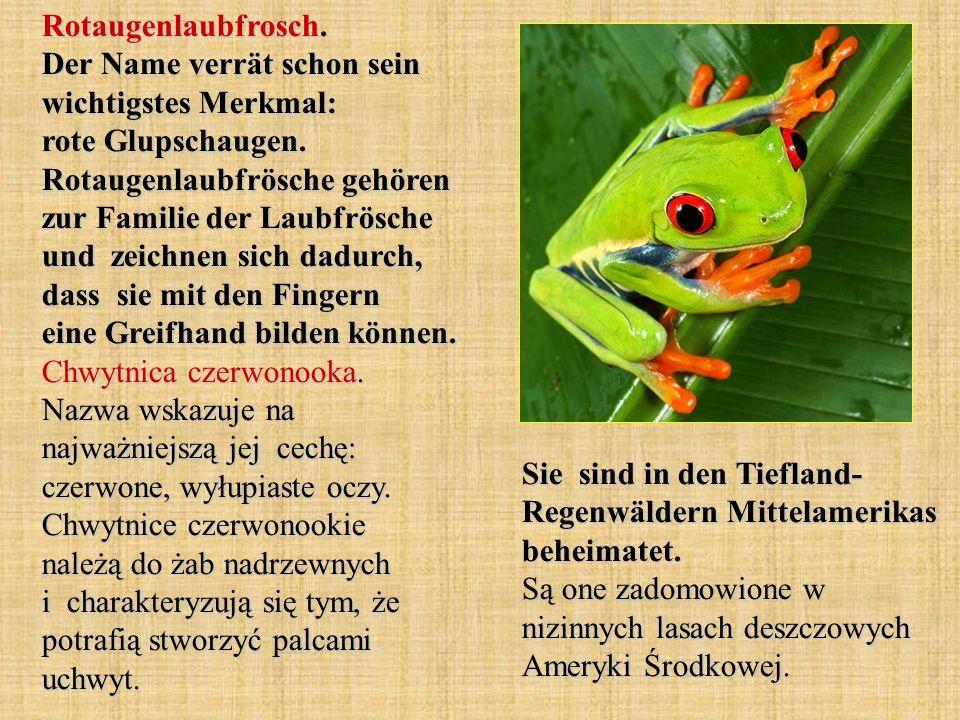 Rotaugenlaubfrosch. Der Name verrät schon sein wichtigstes Merkmal: rote Glupschaugen. Rotaugenlaubfrösche gehören zur Familie der Laubfrösche und zei