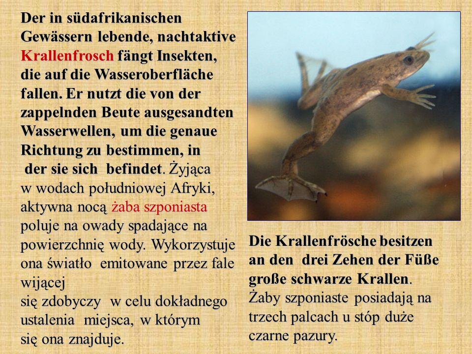 Der in südafrikanischen Gewässern lebende, nachtaktive Krallenfrosch fängt Insekten, die auf die Wasseroberfläche fallen. Er nutzt die von der zappeln