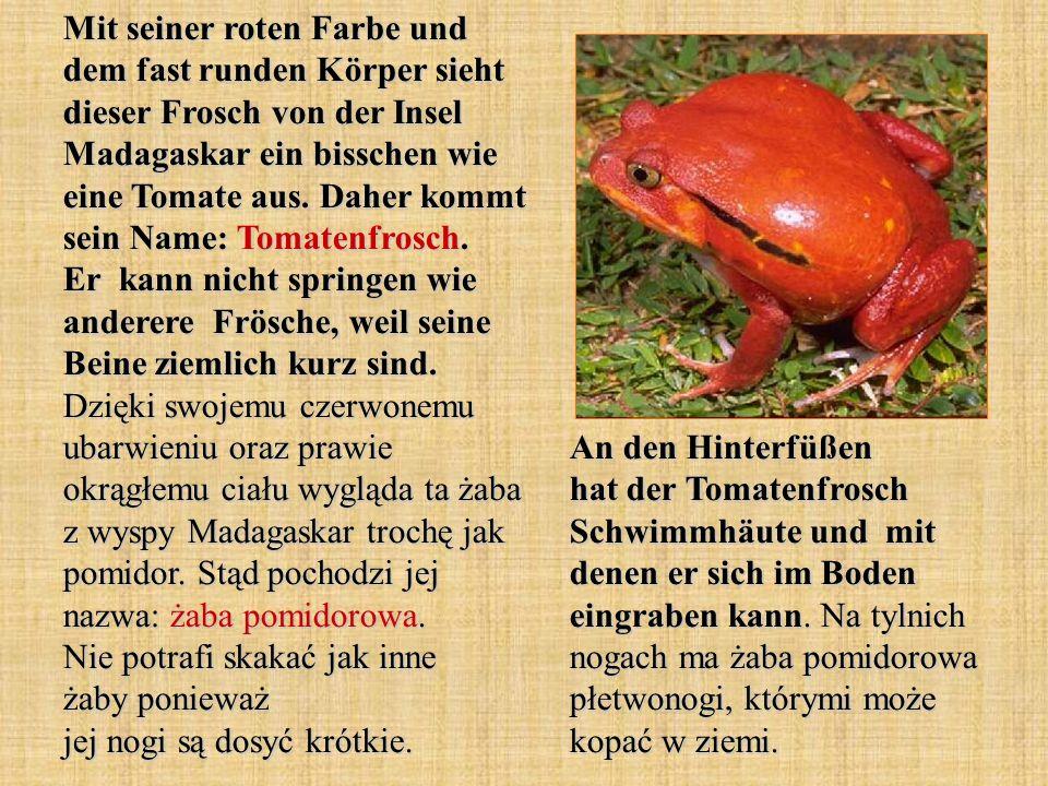 Mit seiner roten Farbe und dem fast runden Körper sieht dieser Frosch von der Insel Madagaskar ein bisschen wie eine Tomate aus. Daher kommt sein Name