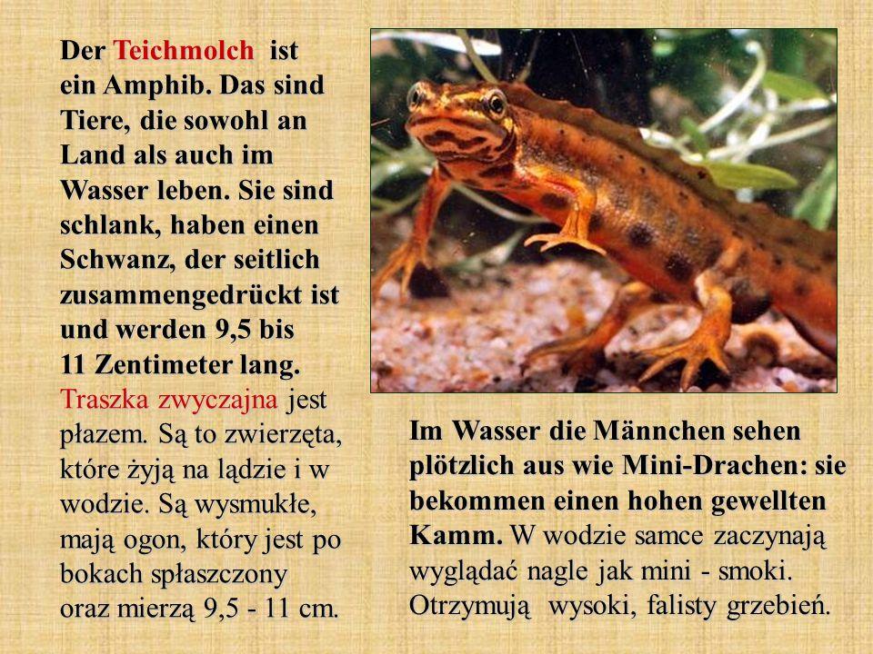 Der Teichmolch ist ein Amphib. Das sind Tiere, die sowohl an Land als auch im Wasser leben. Sie sind schlank, haben einen Schwanz, der seitlich zusamm