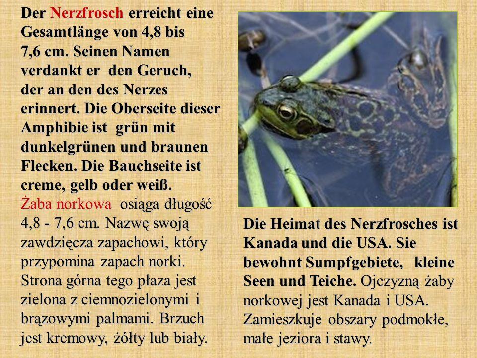 Der Nerzfrosch erreicht eine Gesamtlänge von 4,8 bis 7,6 cm. Seinen Namen verdankt er den Geruch, der an den des Nerzes erinnert. Die Oberseite dieser