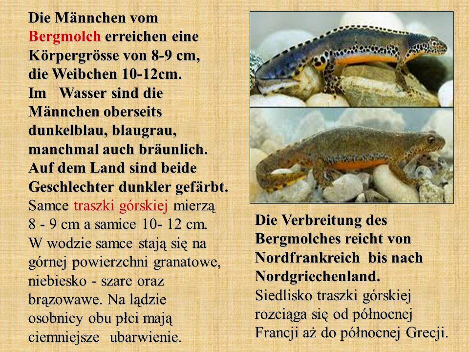 Die Männchen vom Bergmolch erreichen eine Körpergrösse von 8-9 cm, die Weibchen 10-12cm. Im Wasser sind die Männchen oberseits dunkelblau, blaugrau, m