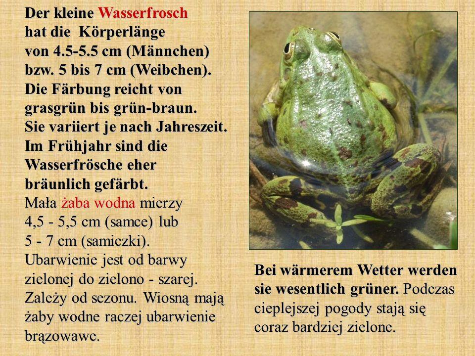 Der kleine Wasserfrosch hat die Körperlänge von 4.5-5.5 cm (Männchen) bzw. 5 bis 7 cm (Weibchen). Die Färbung reicht von grasgrün bis grün-braun. Sie