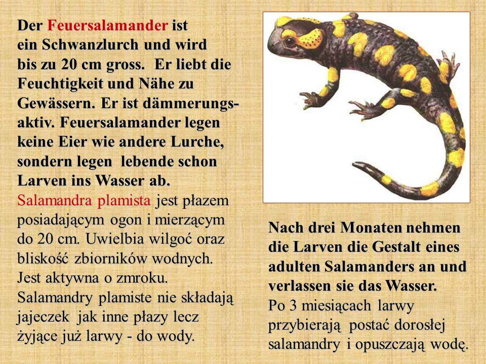 Der Feuersalamander ist ein Schwanzlurch und wird bis zu 20 cm gross. Er liebt die Feuchtigkeit und Nähe zu Gewässern. Er ist dämmerungs- aktiv. Feuer