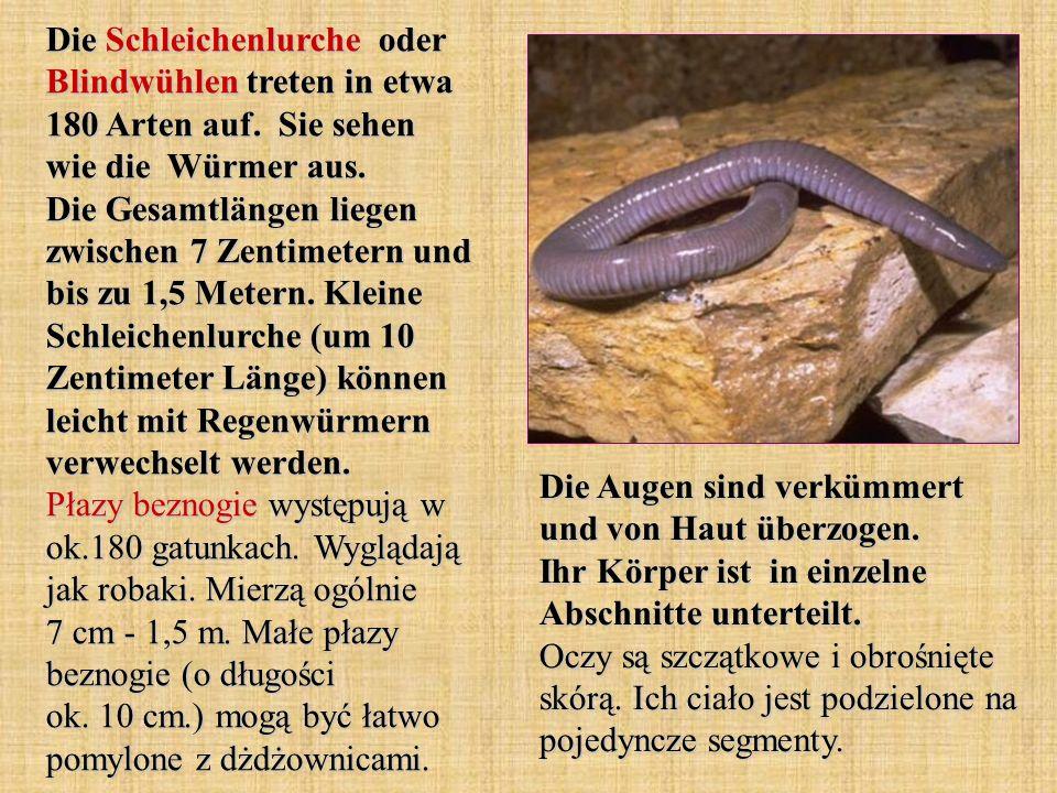 Die Schleichenlurche oder Blindwühlen treten in etwa 180 Arten auf. Sie sehen wie die Würmer aus. Die Gesamtlängen liegen zwischen 7 Zentimetern und b