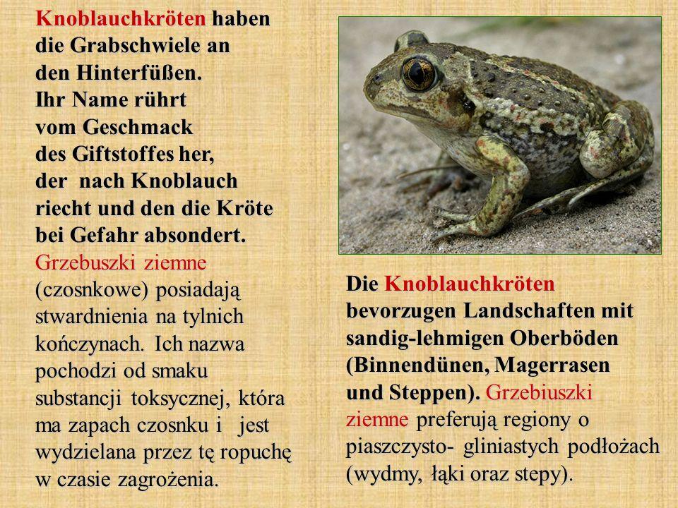 Knoblauchkröten haben die Grabschwiele an den Hinterfüßen. Ihr Name rührt vom Geschmack des Giftstoffes her, der nach Knoblauch riecht und den die Krö