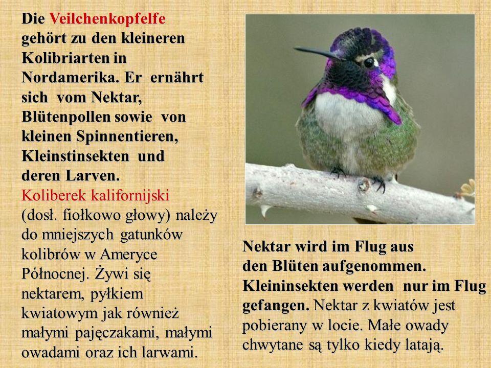 Die Veilchenkopfelfe gehört zu den kleineren Kolibriarten in Nordamerika. Er ernährt sich vom Nektar, Blütenpollen sowie von kleinen Spinnentieren, Kl