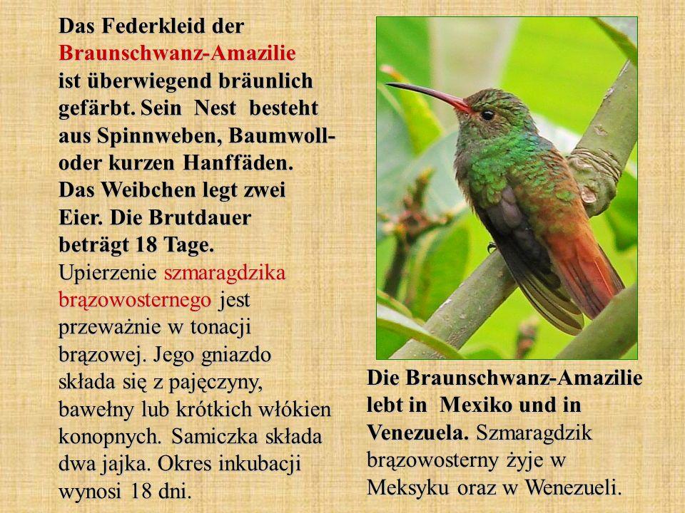 Das Federkleid der Braunschwanz-Amazilie ist überwiegend bräunlich gefärbt. Sein Nest besteht aus Spinnweben, Baumwoll- oder kurzen Hanffäden. Das Wei