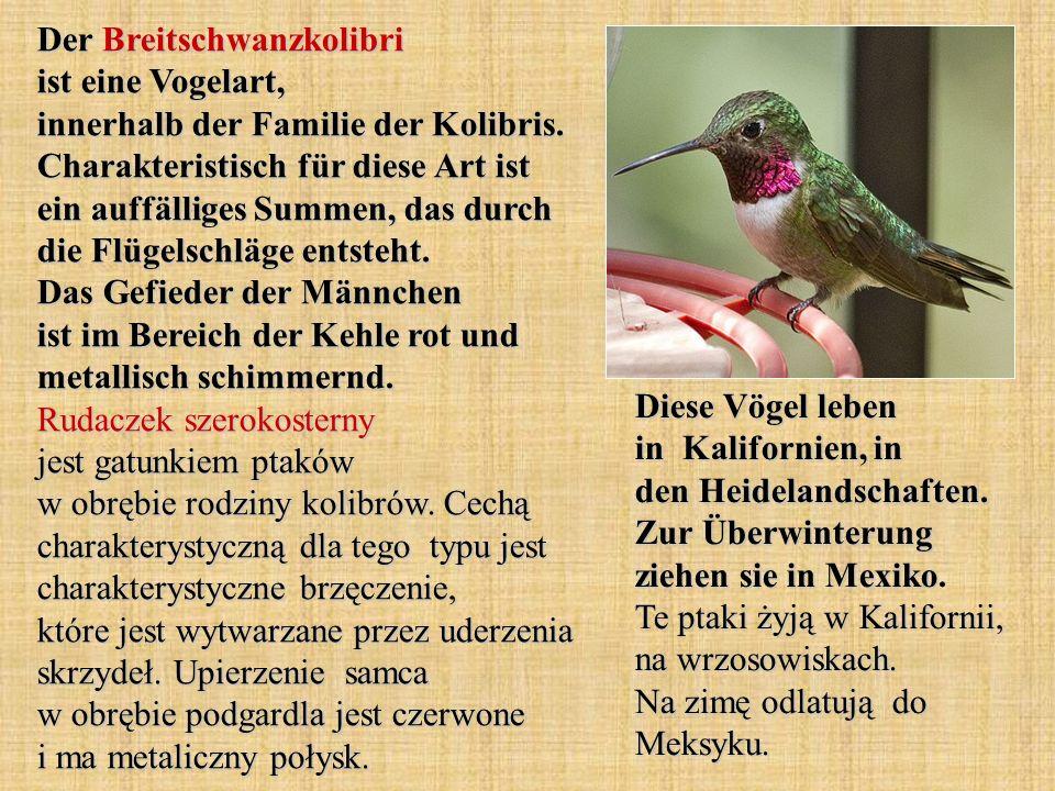 Der Breitschwanzkolibri ist eine Vogelart, innerhalb der Familie der Kolibris. Charakteristisch für diese Art ist ein auffälliges Summen, das durch di
