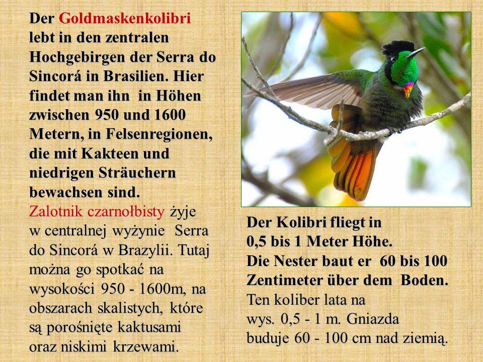 Der Goldmaskenkolibri lebt in den zentralen Hochgebirgen der Serra do Sincorá in Brasilien. Hier findet man ihn in Höhen zwischen 950 und 1600 Metern,
