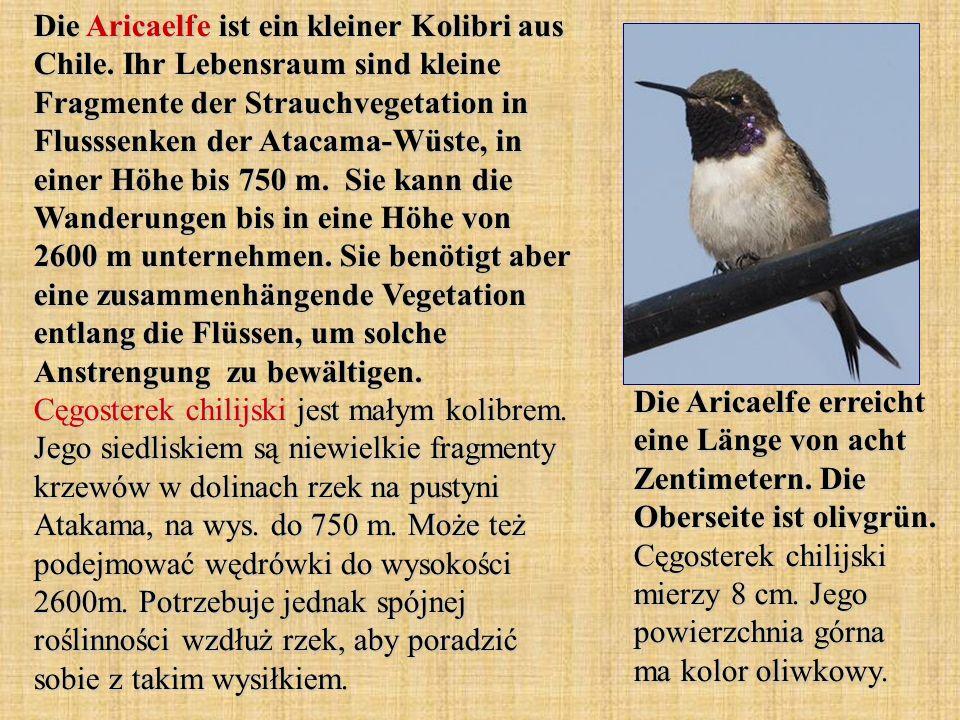 Die Aricaelfe ist ein kleiner Kolibri aus Chile. Ihr Lebensraum sind kleine Fragmente der Strauchvegetation in Flusssenken der Atacama-Wüste, in einer