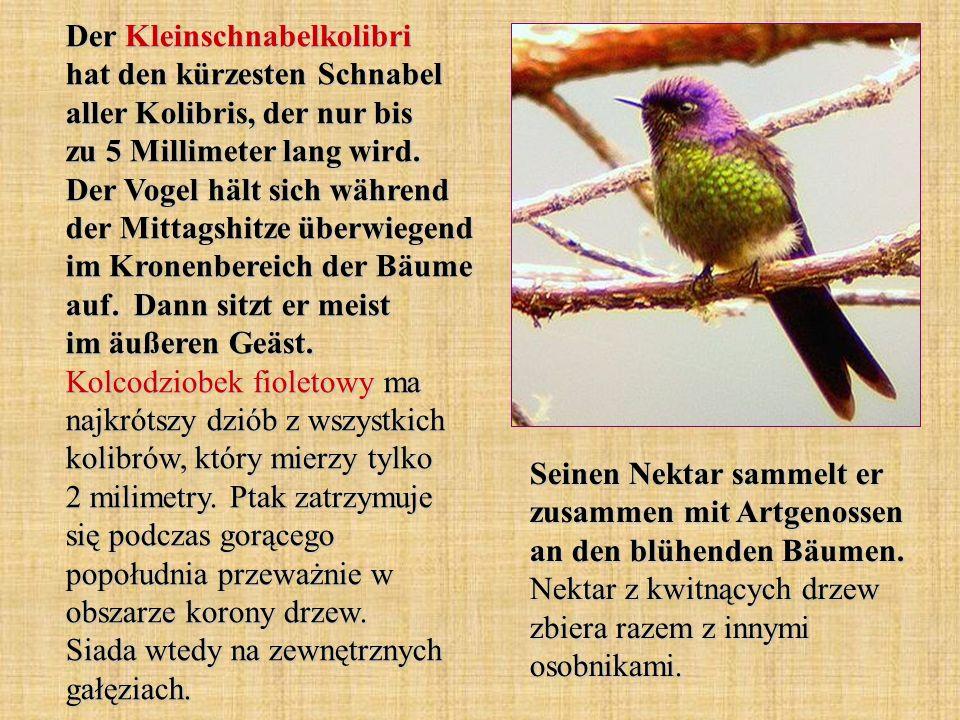 Der Kleinschnabelkolibri hat den kürzesten Schnabel aller Kolibris, der nur bis zu 5 Millimeter lang wird. Der Vogel hält sich während der Mittagshitz
