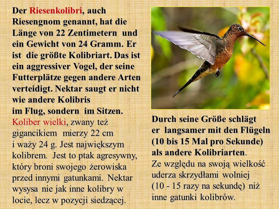 Der Riesenkolibri, auch Riesengnom genannt, hat die Länge von 22 Zentimetern und ein Gewicht von 24 Gramm. Er ist die größte Kolibriart. Das ist ein a