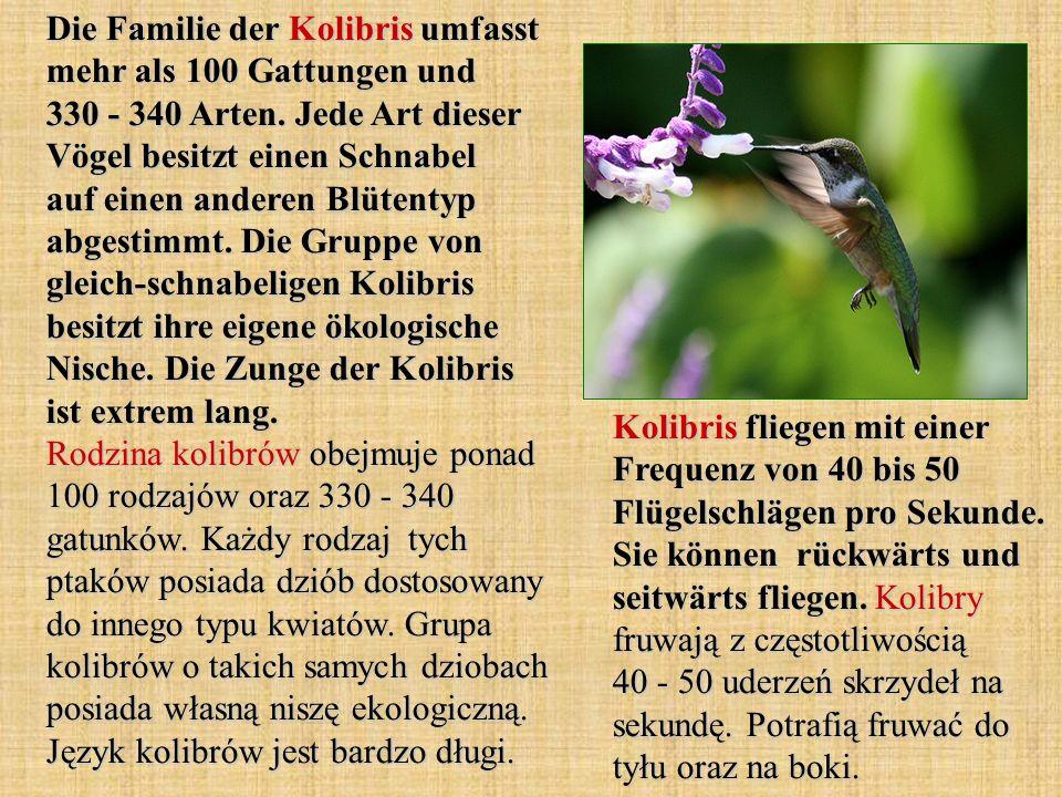 Die Familie der Kolibris umfasst mehr als 100 Gattungen und 330 - 340 Arten. Jede Art dieser Vögel besitzt einen Schnabel auf einen anderen Blütentyp