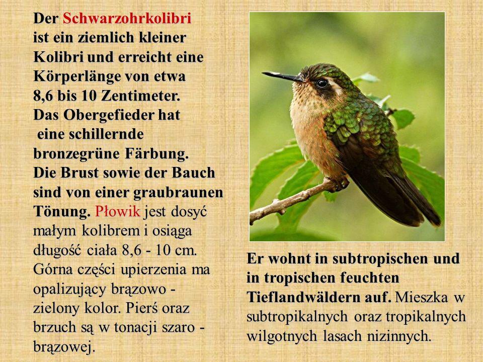 Der Schwarzohrkolibri ist ein ziemlich kleiner Kolibri und erreicht eine Körperlänge von etwa 8,6 bis 10 Zentimeter. Das Obergefieder hat eine schille