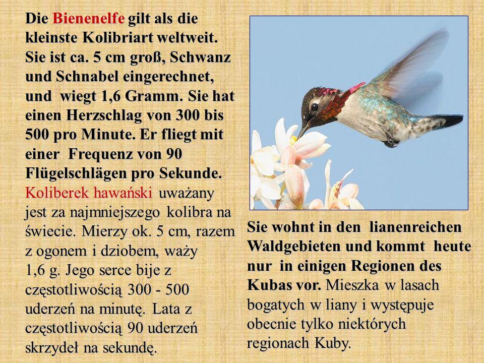 umfassen - obejmować der Schnabel - dziób die Zunge - język die Flügelschlägen - uderzenia skrzydeł rückwärts - do tyłu der Schwarzohrkolibri - (dosł.