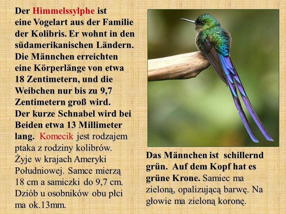 Der Himmelssylphe ist eine Vogelart aus der Familie der Kolibris. Er wohnt in den südamerikanischen Ländern. Die Männchen erreichten eine Körperlänge