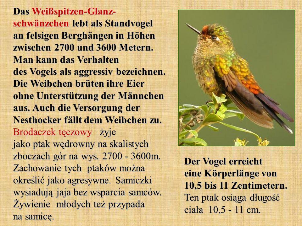 Das Weißspitzen-Glanz- schwänzchen lebt als Standvogel an felsigen Berghängen in Höhen zwischen 2700 und 3600 Metern. Man kann das Verhalten des Vogel