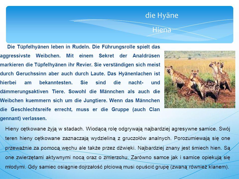 die Hyäne Hiena Die Tüpfelhyänen leben in Rudeln.