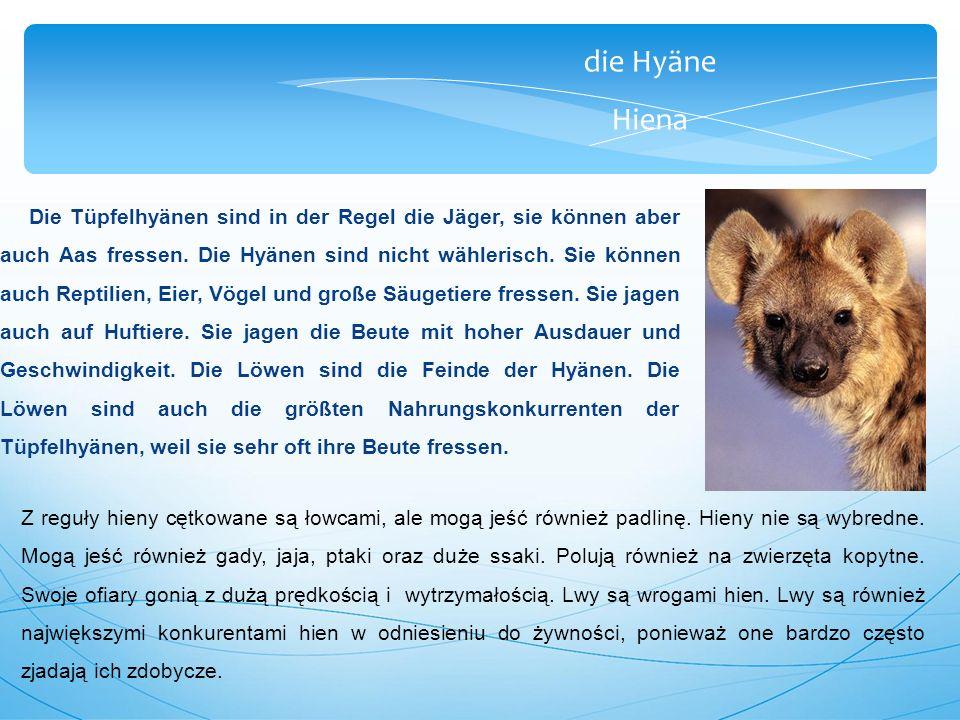 die Hyäne Hiena Die Tüpfelhyänen sind in der Regel die Jäger, sie können aber auch Aas fressen.