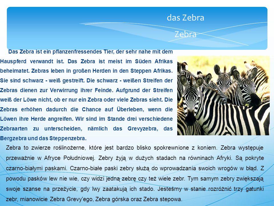 das Zebra Zebra Das Zebra ist ein pflanzenfressendes Tier, der sehr nahe mit dem Hauspferd verwandt ist.